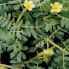 Tribulus Terrestris The Beneficial Plant